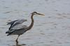 Great Blue Heron - 2