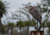 Great Blue Heron at the Coast