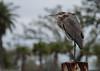 Great Blue Heron at the Coast