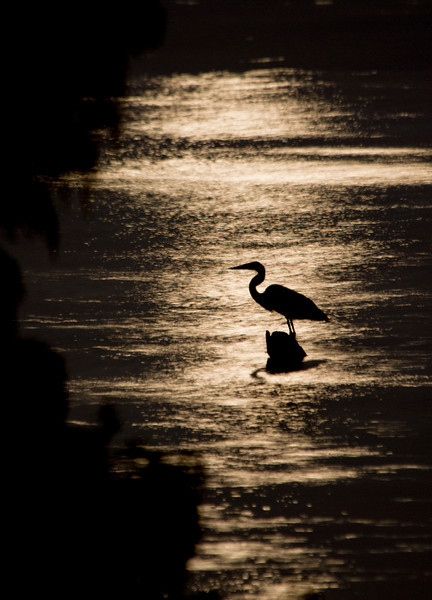 Heron Moon Silhouette - Taken under a full harvest moon at the Ross Barnette Reservoir along the Natchez Trace Parkway in Ridgeland Mississippi.