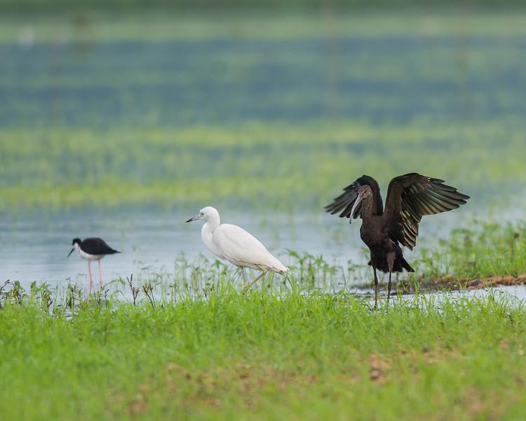 White-faced Ibis, Juvenile Little Blue Heron and Black-necked Stilt.