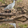 Yellow-crowned Night Heron-2