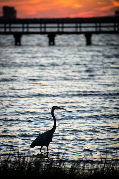 Heron at Twilight