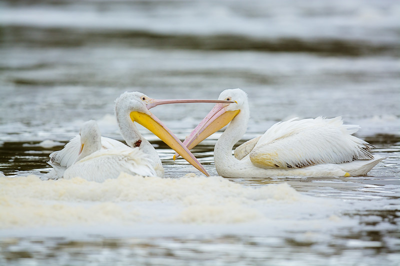 Talking White Pelicans