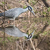 Yellowcrowned Night Heron Reflection