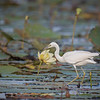 Juvenile Little blue Heron Among Water Lillies