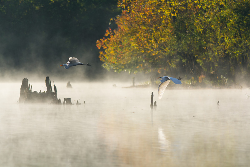 Egrets on a Foggy Morning at Mayes Lake