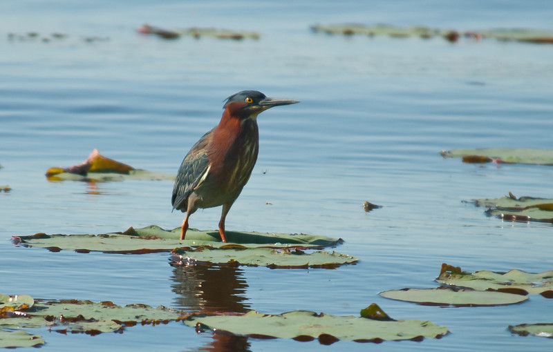 Green Heron - I do not see Green Herons very often, so it was a real treat to luck upon this one this morning and was able to capture this image of him.