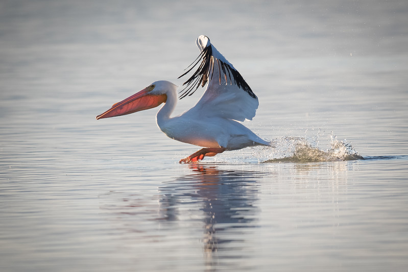 White Pelican Take Off
