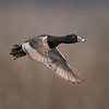 Ring-necked Duck Lift Off