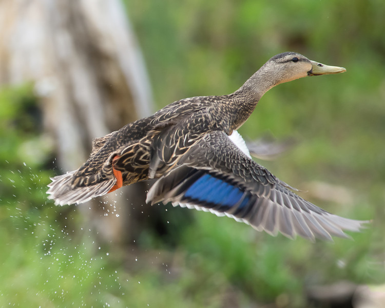 Mallard Hen Take Off