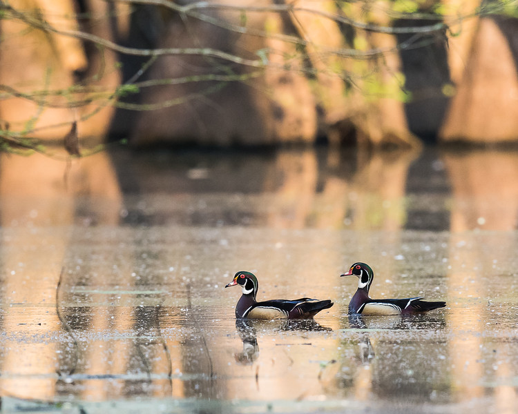 Wood Ducks At Pearl River WMA