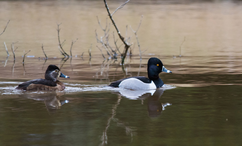 Ring-necked Duck Couple