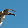 Flying Mallard -  Taken at the Ross Barnette Reservoir in Ridgeland Mississippi.