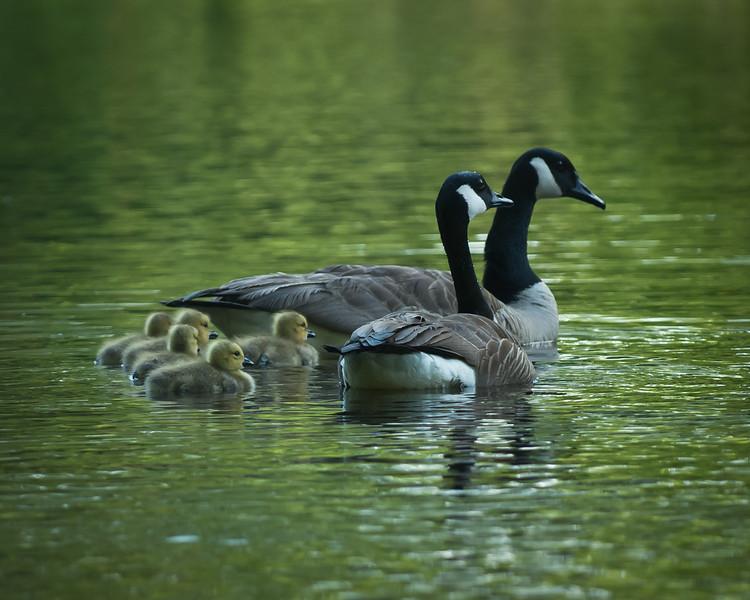 Canadian Geese Family - Taken in Brookhaven Mississippi.