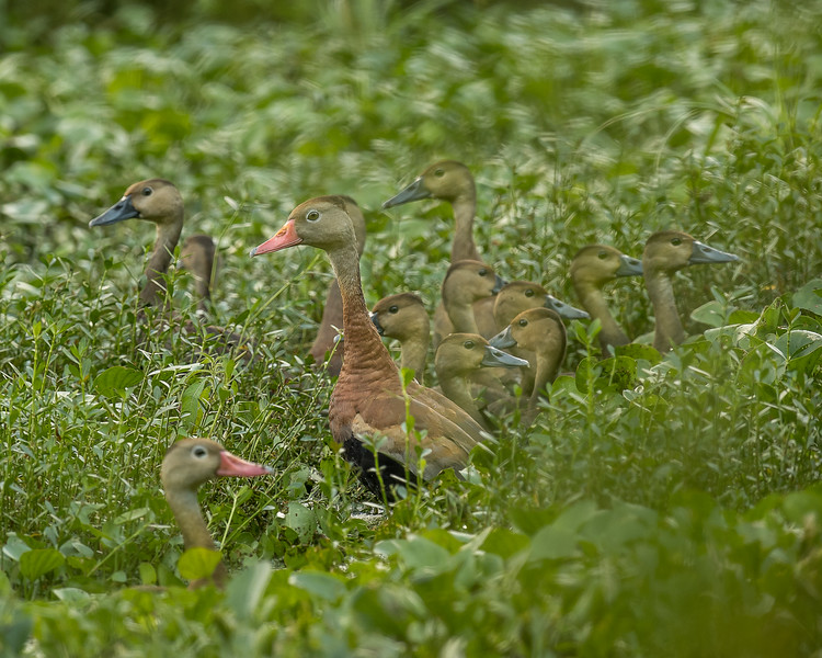 Black-bellied Whistling Ducks At St. Catherine Creek WMA
