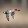 Green-winged Teal Drake in Flight