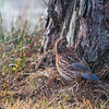 Female Quail (Northern Bobwhite)