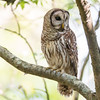 Barred Owl Searching