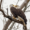 Eagle Pair - Where's My Fish?