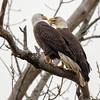 Eagle Pair - Where's My Fish?