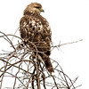 Red Shouldered Hawk-2