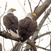 Bald Eagle Pair