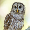 Barred Owl Portrait