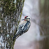 Yellow-Bellied Sapsucker Woodpecker - Male