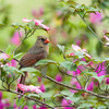 Female Cardinal in a Pink Dogwood Tree