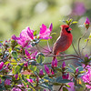 Cardinal In The Azaleas