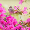 White-throated Sparrow In The Azaleas