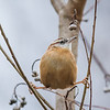 Gymnist Carolina Wren