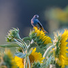 Indigo Bunting On Sunflower