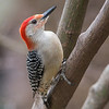 Red-bellied Woodpecker - 2