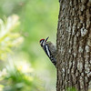 Yellow-Bellied Sapsucker-2