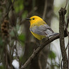 Posing Prothonotary Warbler