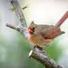 Female Cardinal-4