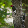 Adult and Juvenile Red-headed Woodpeckers