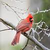 Iced Cardinal