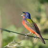 Singing Painted Bunting