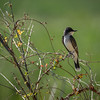 Eastern Kingbird Profile