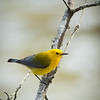 Prothonotary Warbler-3