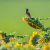 Painted Bunting Singing On A Sunflower