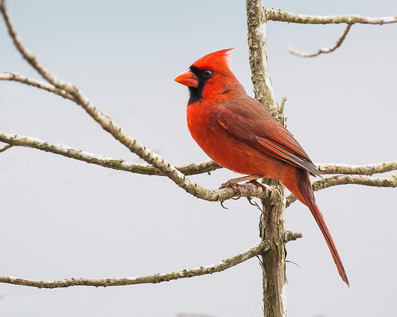 Male Northern Cardinal-4