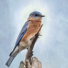 Male Eastern Bluebird Portrait