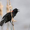 Redwinged Blackbird Singing a Song