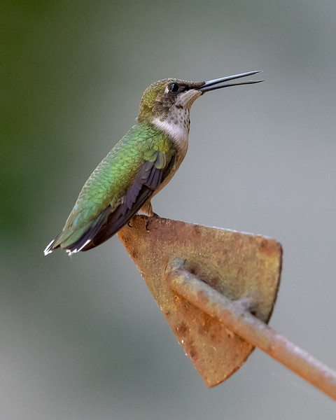 Perched Ruby-throated Hummingbird
