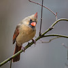 Female Northern Cardinal in the Rain