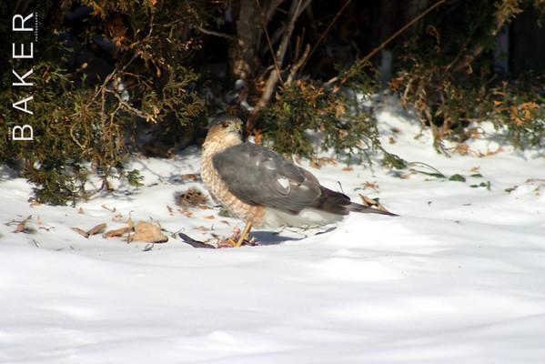 Coopers Hawk, Montreal Quebec